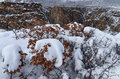 Scrub Oak, Snow, and the Painted Wall print