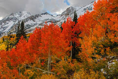 The Red Aspens at Alta