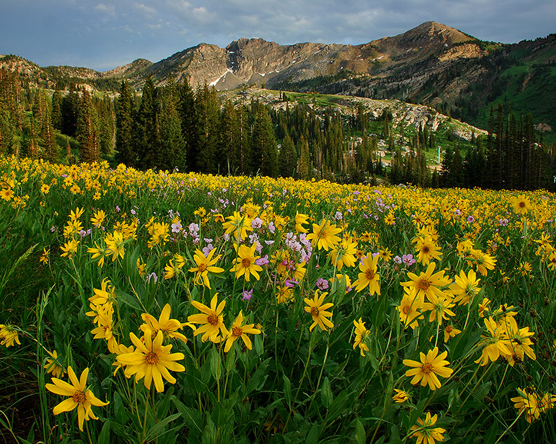 Alta, Wasatch, Wasatch-Cache, Little Cottonwood Canyon, wildflowers