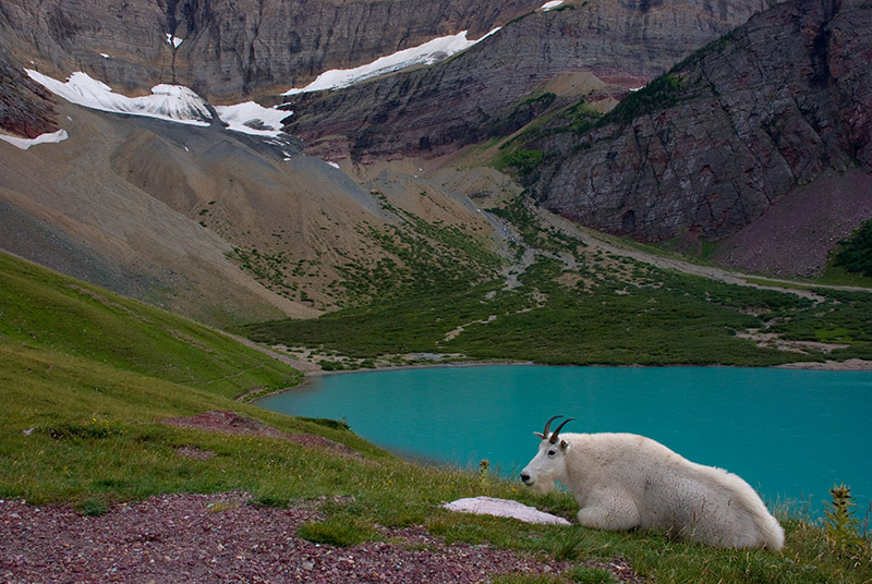 """On the way to Cracker Lake, my favorite backcountry spot in Glacier, some hikers heading out told us that a mountain goat, """"Earl..."""