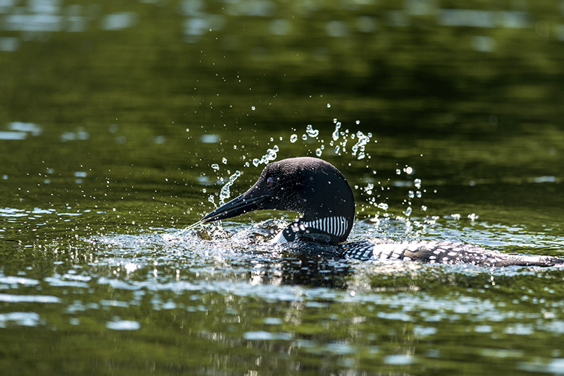 As we paddled across more than a dozen lakes in the Boundary Waters, loons were our most frequent companions and far outnumbered...
