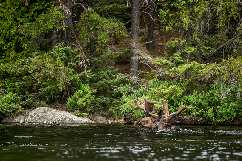 I think we all feel like this on occasion. As graceful as moose are on land, they are perhaps more so in the water.