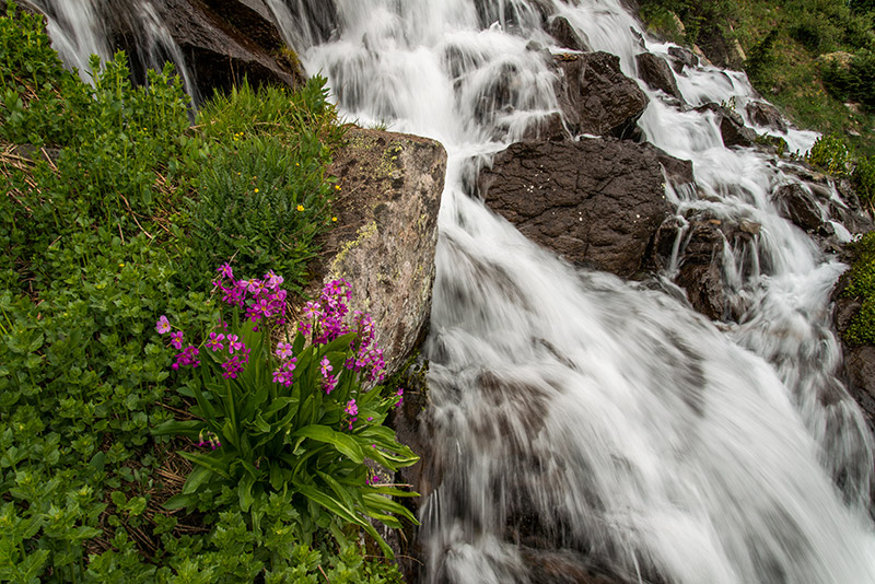 A patch of Parry's Primrose grows beside this torrential cascade, last season's snow pouring down from the higher elevations...