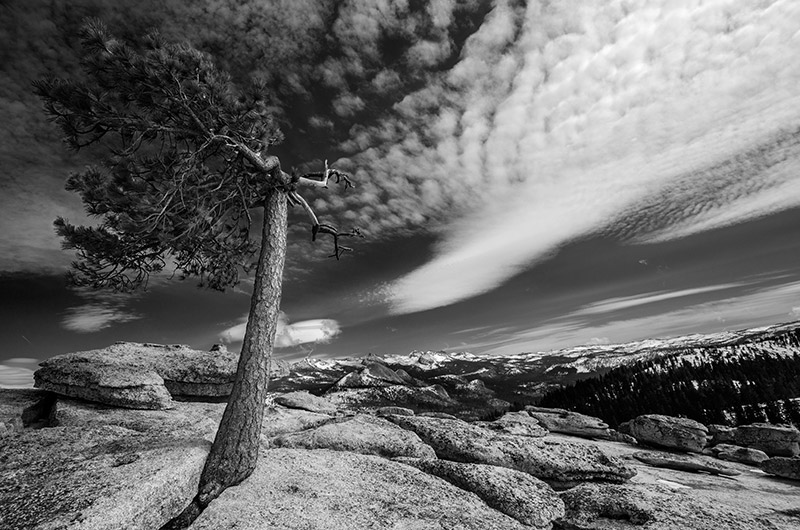 An iconic Jeffrey pine once lived on Sentinel Dome. Made famous, like much of Yosemite, by Ansel Adams, it was first photographed...
