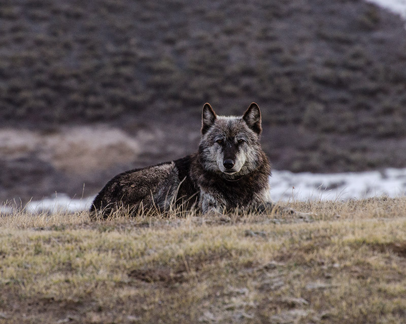 Few creatures in the United States have ever been maligned as much as the wolf. I suspect only coyotes and grizzly bears...