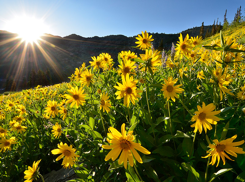 2011 was a great year for the summer wildflowers that dot Alta's legendary ski slopes. In making this image, I was drawn...